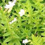 Авран лікарський (Gratiola officinalis)