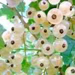 Біла смородина - корисні властивості, як застосовувати при захворюваннях