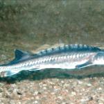 Білуга - цінний прісно-морська риба