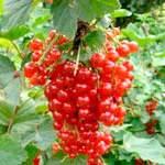 Чим корисна червона смородина, порічки для здоров'я