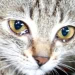 Що робити, якщо кіт постійно «плаче»?