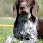 Ідеальний варіант охоронця і домашнього вихованця - собака породи дратхаар