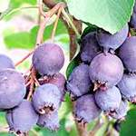 Ірга - корисні властивості чудо-ягоди
