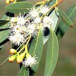 Евкаліптова олія: склад, користь і властивості ефірного масла евкаліпта