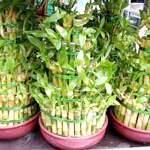 Як виростити кімнатний бамбук