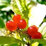 Костяниця: склад, користь і властивості, застосування Костяніка в медицині та кулінарії
