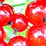 Червона смородина і її корисні властивості