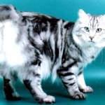Курильський бобтейл - кіт, який втратив хвіст!