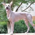 Лисі собаки: особливості догляду та поведінки