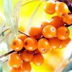 Масло обліпихи: користь, властивості, лікування маслом обліпихи, масло обліпихи в косметології