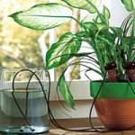 Полив кімнатних рослин