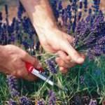 Збір і заготівля лікарських рослин