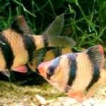 Зграйка барбусів - невичерпна енергія у вашому домашньому акваріумі