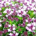 Трава чебрець корисні властивості, застосування, протипоказання. Чебрець при вагітності
