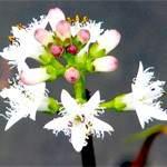 Вахта трилистий (бобовник)