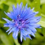 Волошка синя. Опис і властивості волошки синьої