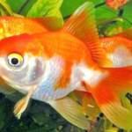 Вуалехвост в домашньому акваріумі