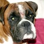 Піодермія у собак