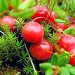 Корисні властивості журавлини