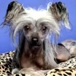 Собака породи китайська чубата подарує вашим дітям радість