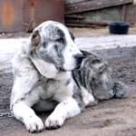 Середньоазіатська вівчарка - вірний друг і надійний захисник