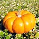 Гарбуз користь, насіння гарбуза користь і шкода