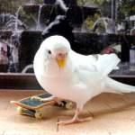 Приручення хвилястих папужок: основні правила