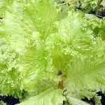 Салат листовий, корисні і лікувальні властивості